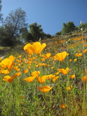 Poppies in the foothills