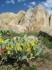 Mule's ear, Carson-Iceberg Wilderness