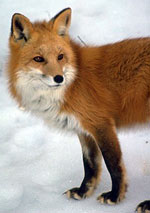 Sierra Nevada red fox. Photo from the CA Department of Fish and Game.