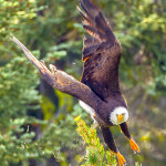 Second Prize: David Hargus Bald eagle