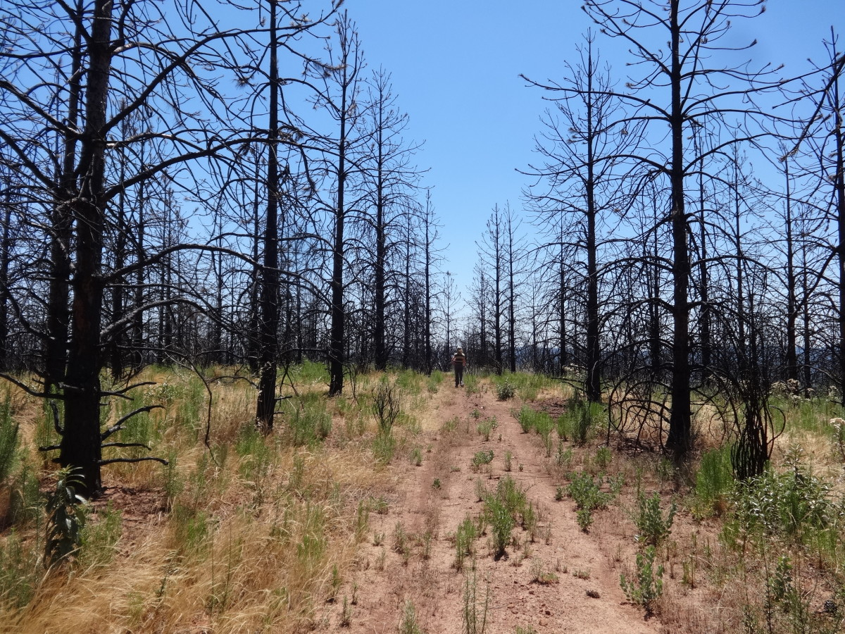 Burned Plantation in Rim Fire