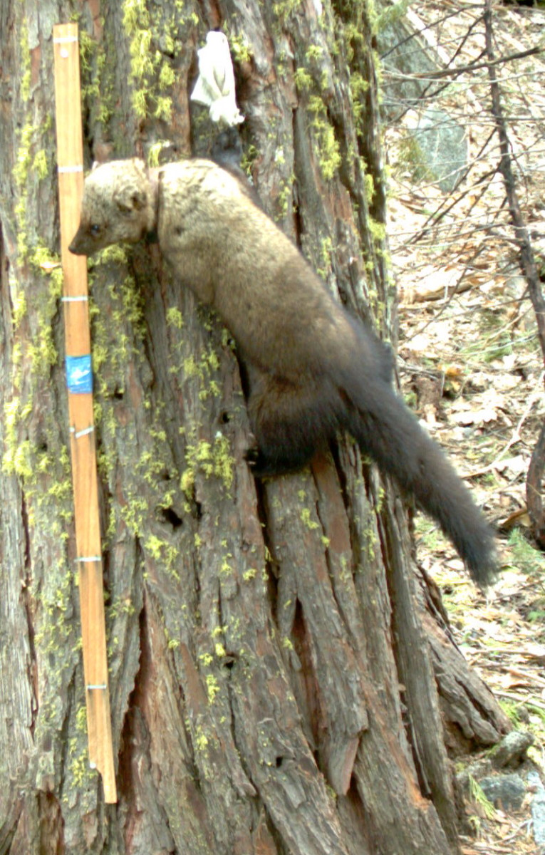 In 2011, CSERC captured a picture of a Pacific Fisher in Yosemite NP