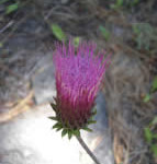 anderson thistle