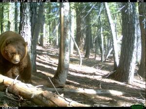 A Big Black Bear in Yosemite