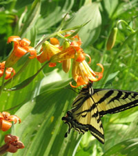 Alpine lily and swallowtail butterfly.