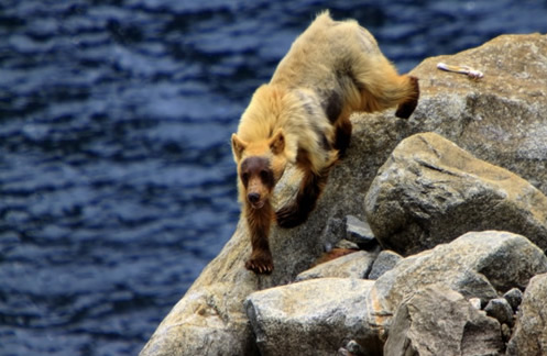 Black Bear at Hetch Hetchy in Yosemite