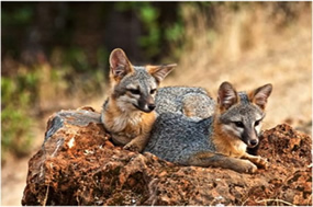 Gray Fox Pups