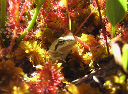 A pacific chorus frog waits for its next meal amongst its fellow insect-eaters, the sundew plant. Note the sticky red-tentacles of the sundew which lure and then trap its insect prey. Photo by James Patrick Kelly.
