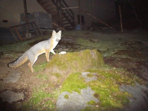 BackyardGrayFox