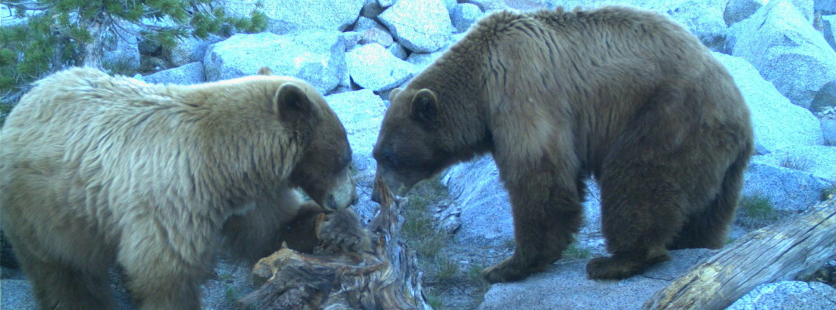 Bears at a wildlife camera station