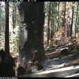 CSERC cameras document black bear mother & FOUR bear cubs!