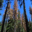 Talking about trees – Forest health and tree mortality in the Sierra Nevada