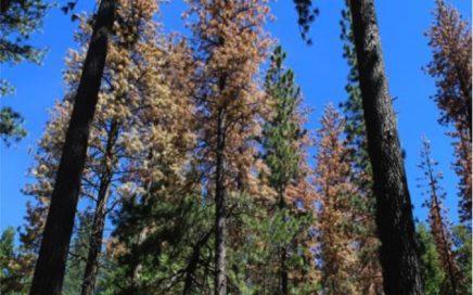 Conifer mortality beetle kill
