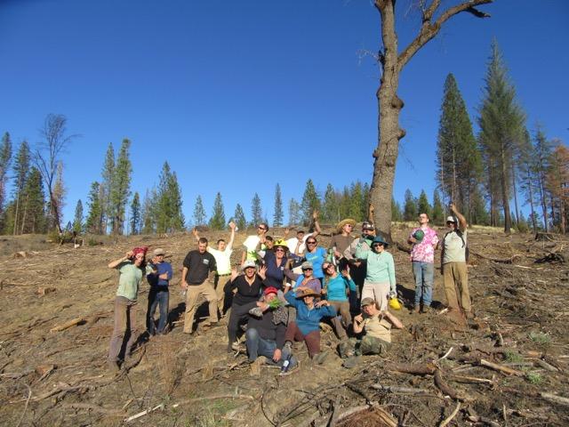 Volunteer conifer seedling planting