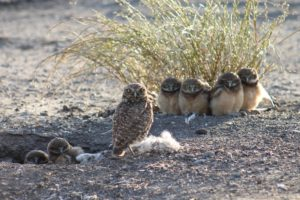 burrowing owl development