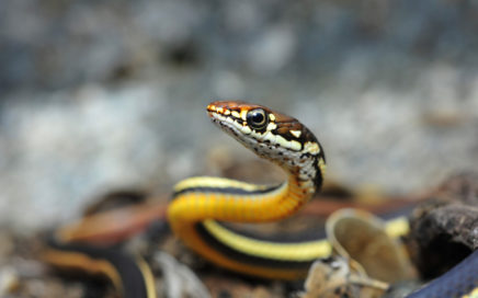 striped racer snake, photo contest