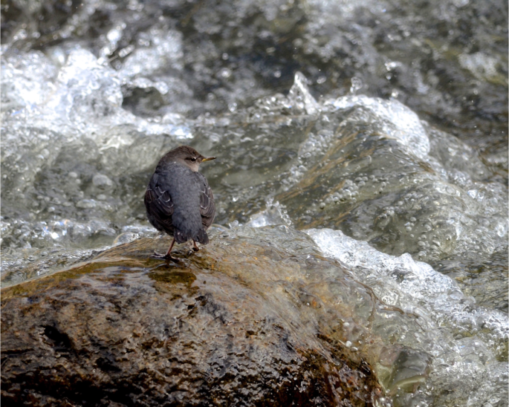 American dipper (ouzel), photo contest