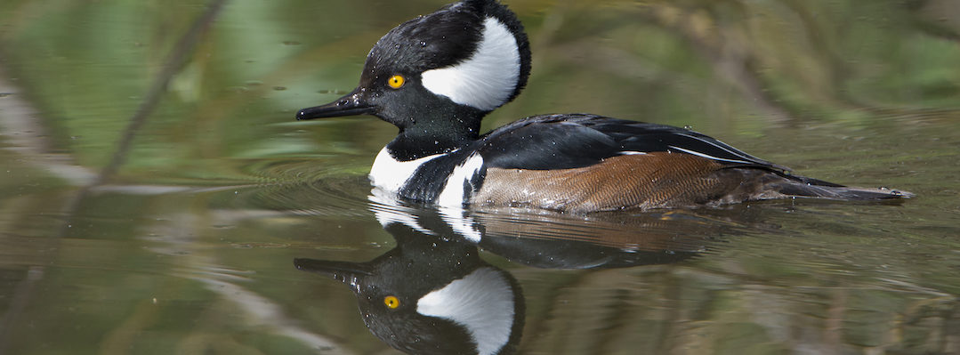Linda Raymer, Hooded Merganser