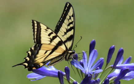 Swallowtail butterfly, photo by Merrit Hill