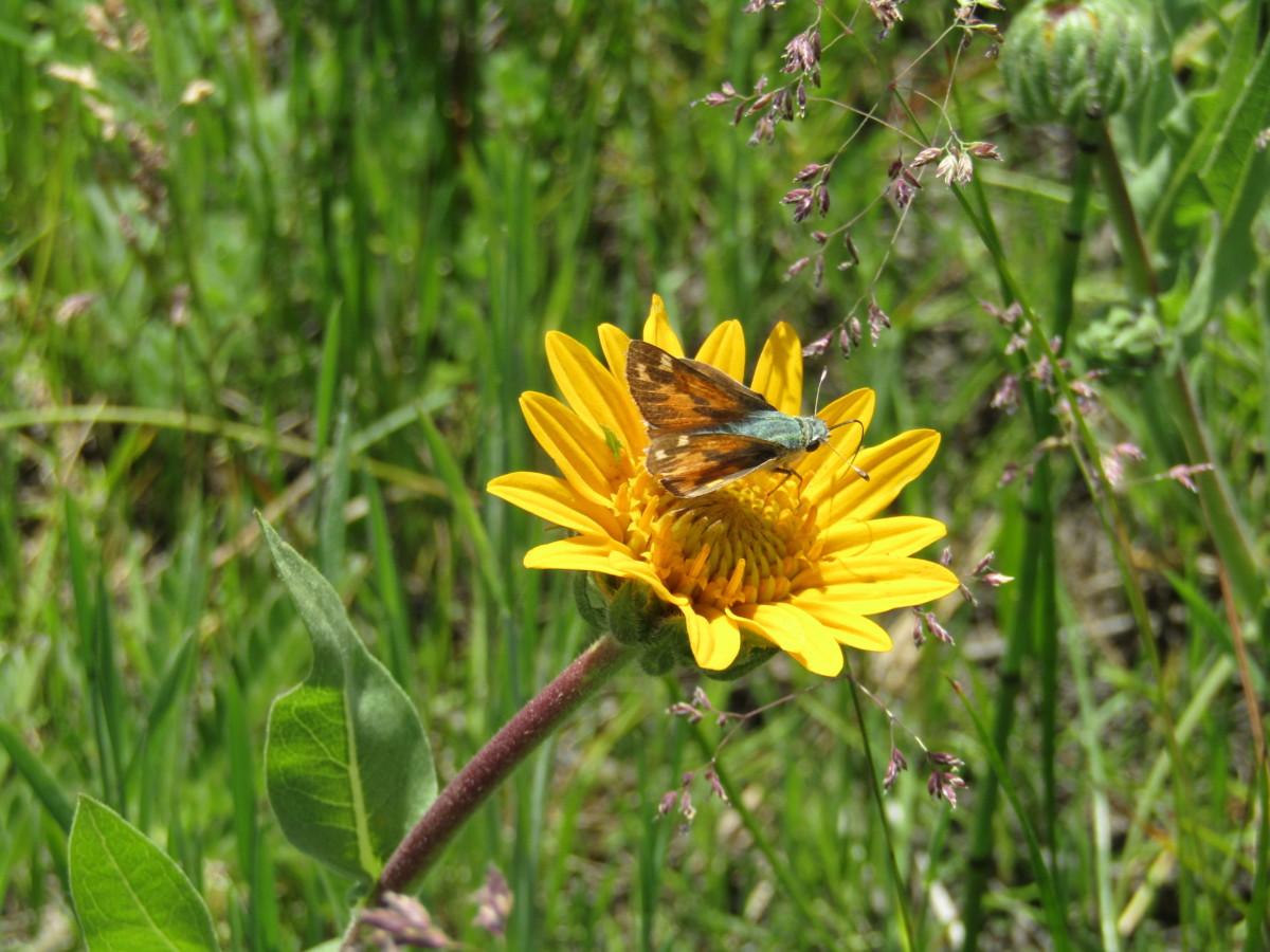 skipper ackerson meadow