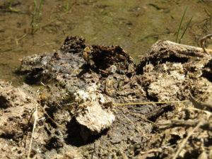 bees mud-puddling