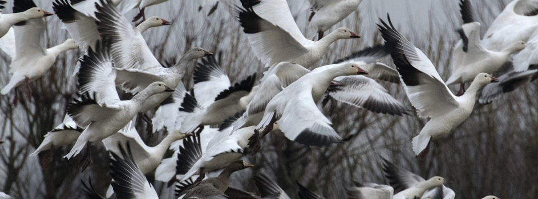 Snow Geese; credit: Heide Stover