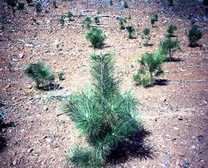Plantation Herbicides
