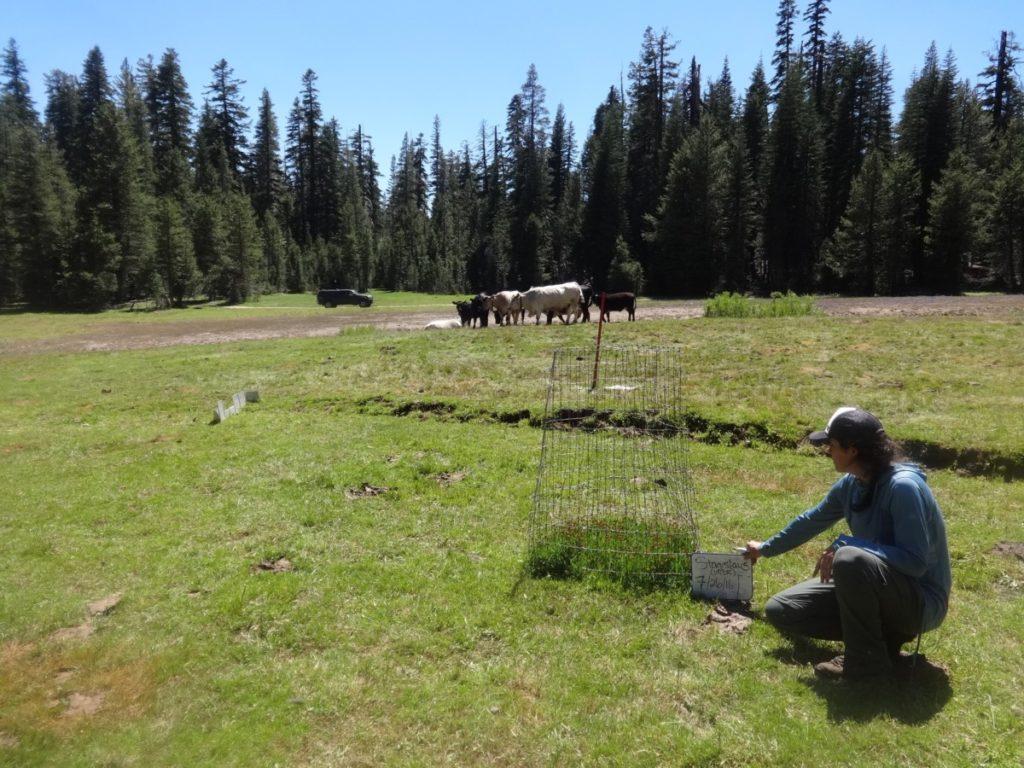 Cows livestock grazing public lands
