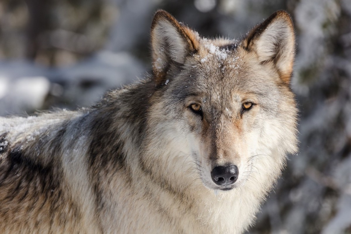 Will wolves return to the Northern Yosemite region? - CSERC